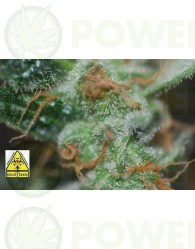 Auto Pack 6 Semillas (Biohazard Seeds) Feminizadas Cannabis-Marihuana Autofloración