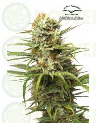 AutoWhite Widow (Dutch Passion)