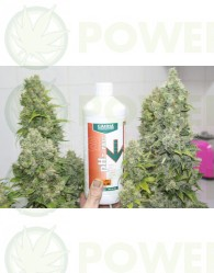 Bcn Sour Diesel (Medical Seeds) Feminizadas