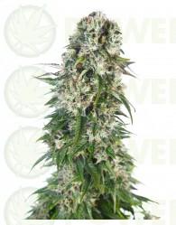 Big Bud Automática (Sensi Seeds)