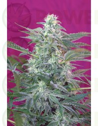 Big Foot Feminizada (Sweet Seeds)