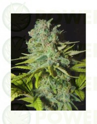 Big Lights (Biohazard Seeds) Feminizada