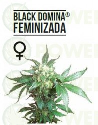 Black Domina Feminizada (Sensi Seeds)
