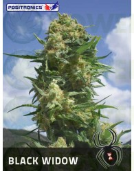 Black Widow Feminizada (Positronics Seeds)