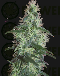Blizzard Feminizada (SeedMakers)