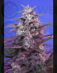 Bloody Skunk (The Red Family) Sweet Seeds Semillas Feminizada de Cannabis