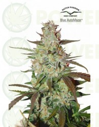 Blue Auto Mazar Feminizada (Dutch Passion)