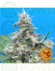 Blue Cheese Feminizada (Barney´s Farm)
