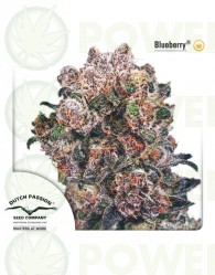 Blueberry Feminizada (Dutch Passion Seeds)