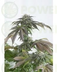 Bubba Kush CBD (Dinafem Seeds) Feminizada