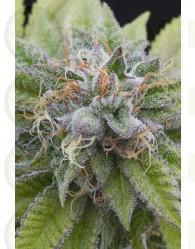 Bubba Kush (Dinafem) Semilla Feminizada de Cannabis