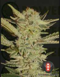 Bubble Gum Regular (Seious Seeds)