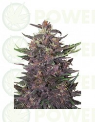Buddha Purple Kush Auto (Buddha Seeds)