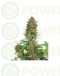 Buddha Purple Kush Feminizada (Buddha Seeds)