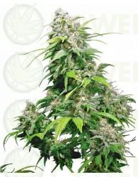 California Indica Feminizada (Sensi Seeds)