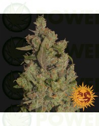 CBD BLUE SHARK FEMINIZADA (Barney´s Farm Seeds)