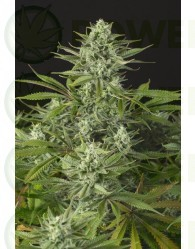 Cheese CBD (Dinafem Seeds) Feminizada
