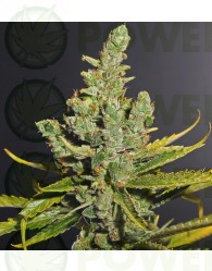 Semillas de marihuana Cheese de Dinafem 100% Feminizadas