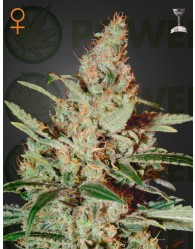 Chemdog feminizada (Greeen House Seeds)