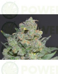 Cheese Feminizada de CBD Seeds Semillas de Cannabis