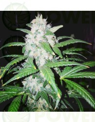 CHOCO CANDY (GREENBUD SEEDS)