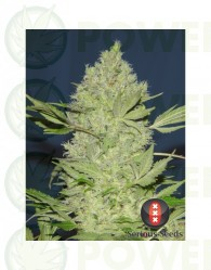 Chronic Feminizada de Serious Seeds