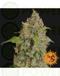 CHRONIC THUNDER FEMINIZADA (Barney´s Farm Seeds)