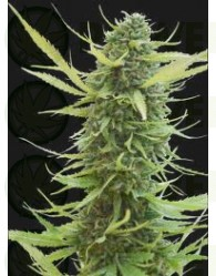 Colombian Gold Feminizada (World of Seeds)