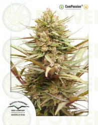 CBD ComPassion (Dutch Passion) Semilla Feminizada de Cannabis