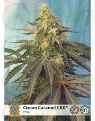 Cream Caramel CBD (Sweet Seeds)-5