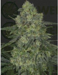 Criminal + Feminizada (Ripper Seeds)