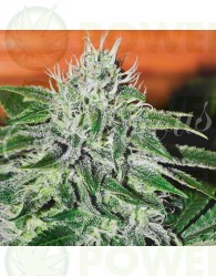 Critical Jack Herer Feminizada (Delicious Seeds)