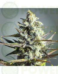 critical kush, barneys farm