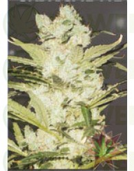 critical neville haze automatic