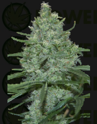 Critical (SeedMakers)