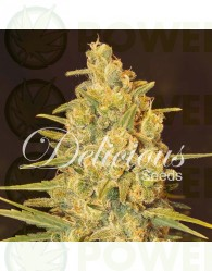 Critical Sensi Star Feminizada (Delicious Seeds)