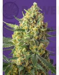 Crystal Candy XL Auto Feminizada (Sweet Seeds)