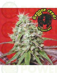 Dancehall (Reggae Seeds) Semilla Regular Marihuana