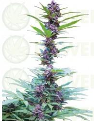 DeluxeMix (Cannabiogen Seeds)
