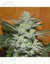 Desconocida Kush Feminizada (Dellicious Seeds)