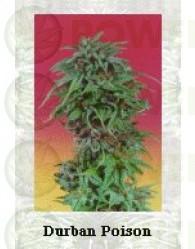 Durban Poison Regular (Dutch Passion Seeds)