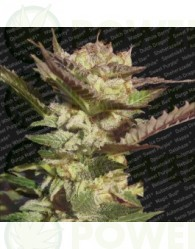 Durga Mata (Paradise Seeds) Regular