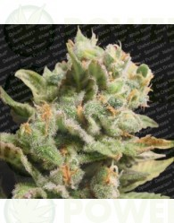 Dutch Dragon (Paradise Seeds) Feminizada
