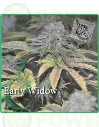 Early Widow Feminizada (Elite Seeds)