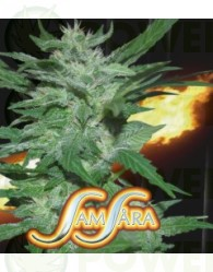 Flash Babylon (Samsara Seeds)