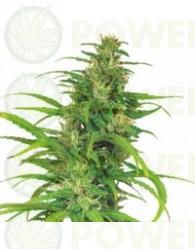 Flower Power (Autofloración) Barney´s Farm