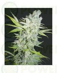 Criminal Jack Feminizada (Biohazard Seeds)