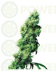 Four Way (Sensi Seeds)