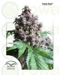 Frisian Duck Feminizada (Dutch Passion Seeds)