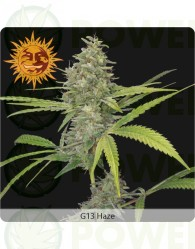 G13 Haze (Barney´s Farm Seeds)